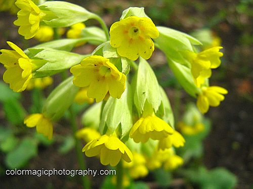 Cowslip flowers - closeup photograph