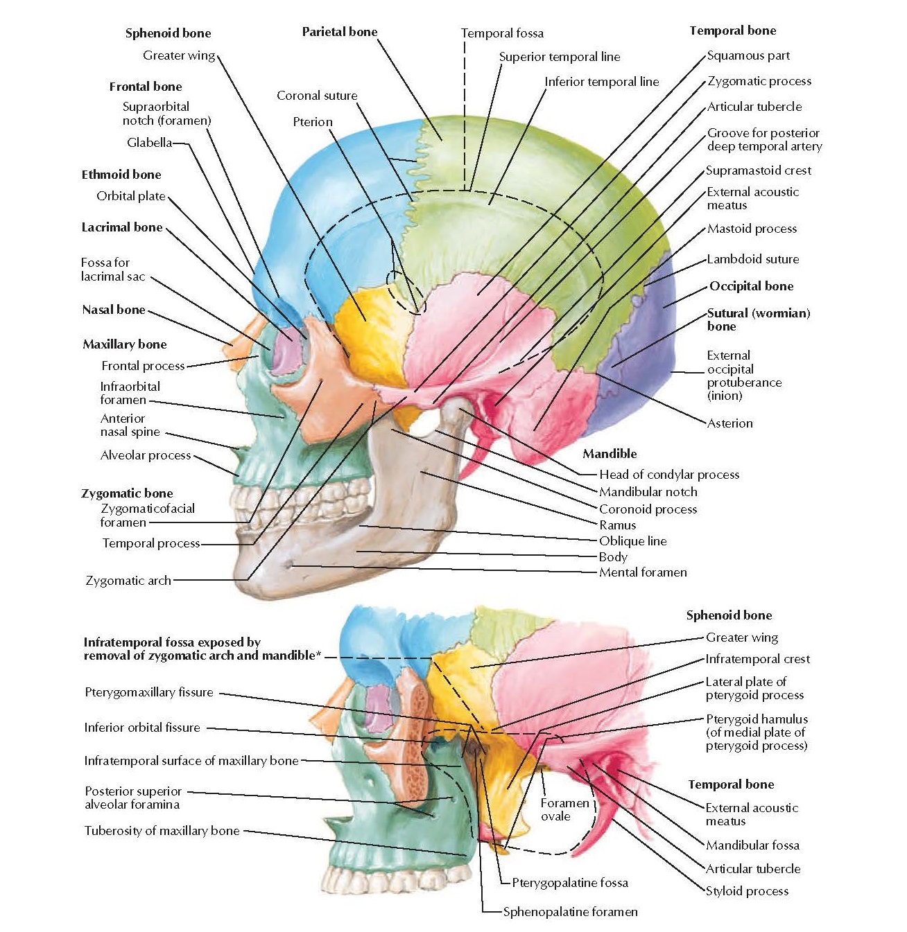 Skull: Lateral View Anatomy