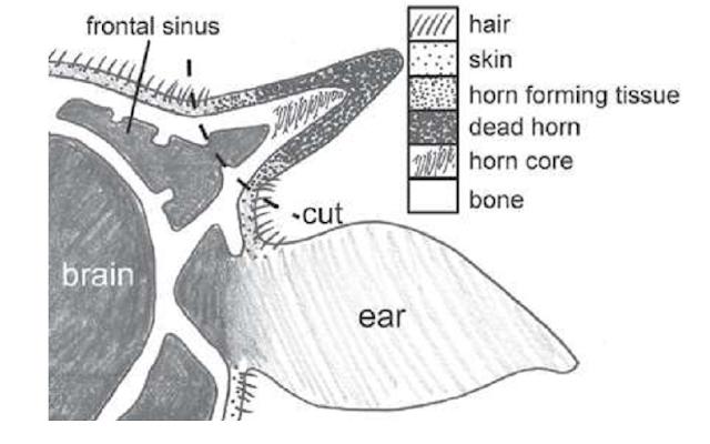 Lokasi pemotongan tanduk pada sapi tua (ilustrasi)