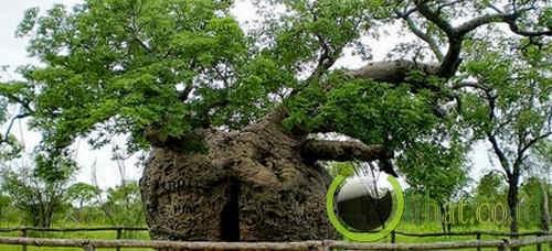 Pohon Penjara Boab