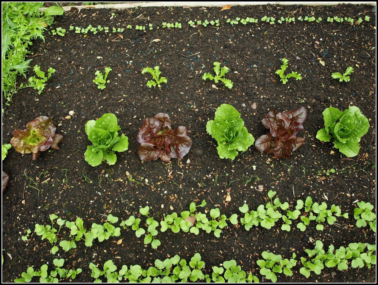 Mark\'s Veg Plot: Lettuce etc...