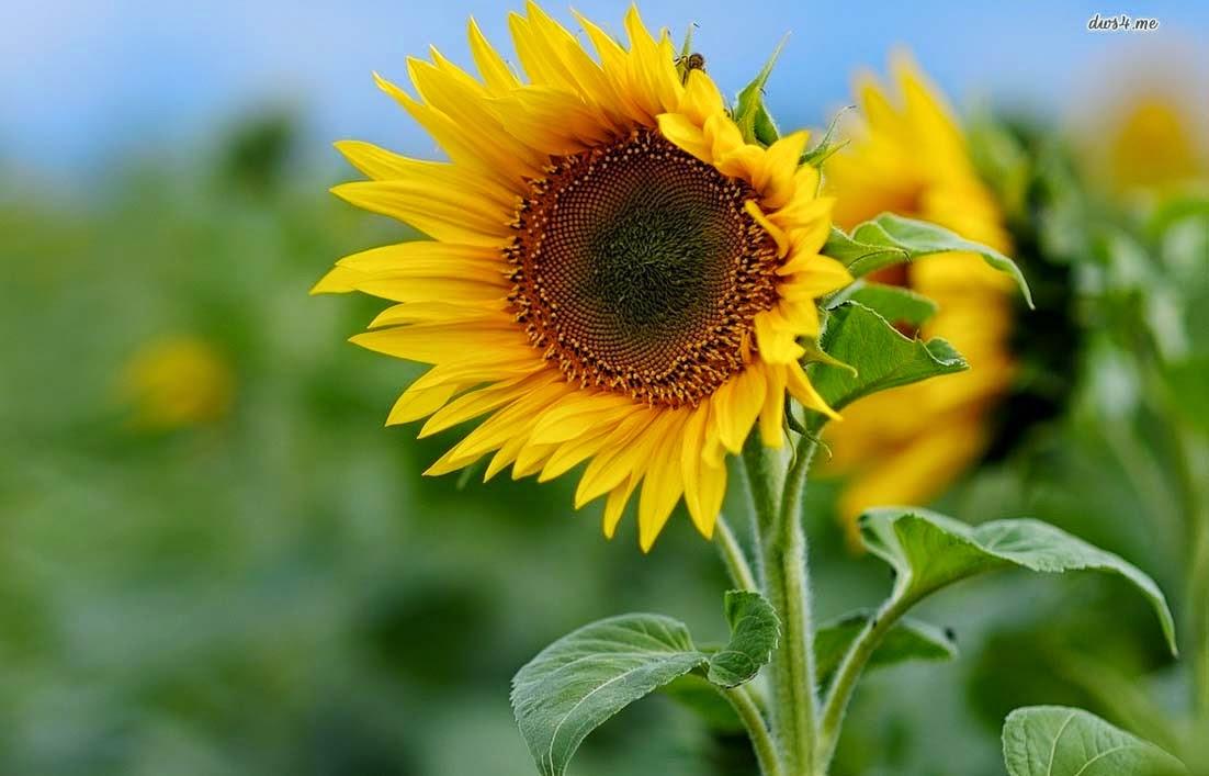 Bunga Matahari Gallery
