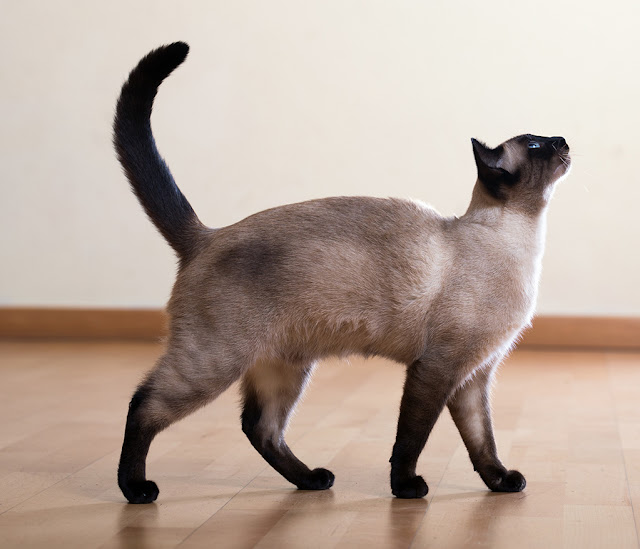 Siamese cat standing. Photo via Adobe Stock