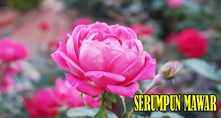 https://www.ayobelajar.org/2019/02/serumpun-mawar-puisi.html