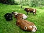 Troupeau de vaches à hublots