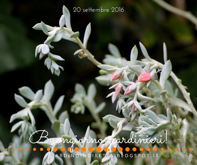 Echeveria runyonii Topsy Turvy  - l'agenda del giardino e del giardiniere - un giardino in diretta