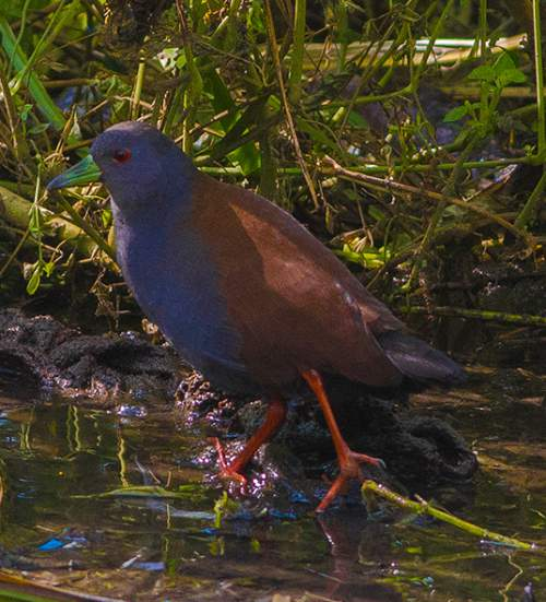 Indian birds - Black-tailed Crake - Zapornia bicolor
