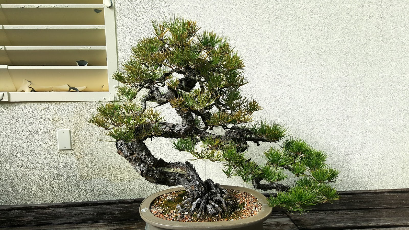 Bonsai Misadventures The Bonsai Of The National Bonsai And