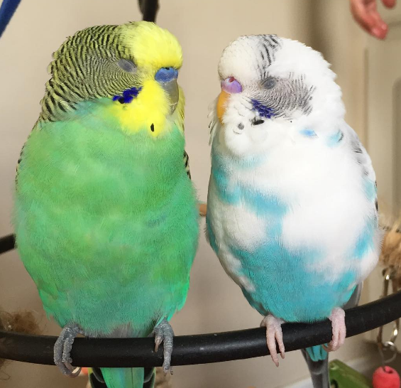 A Little Budgie Told Me: 3  Boy or Girl?