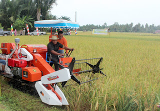Di Aceh Timur, Panen Padi Gunakan Mesin Hanvester Combine