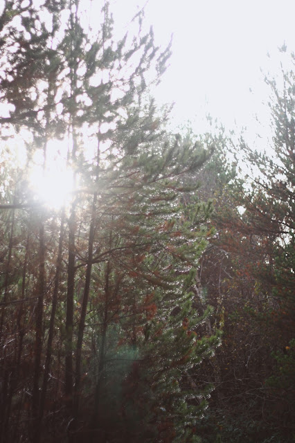 sun shining through the pine trees