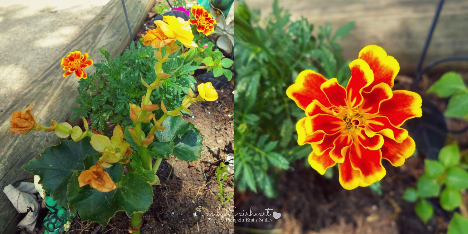 Orange and red Marigolds