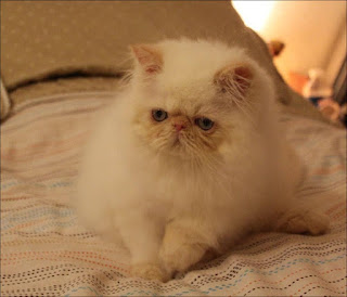 Get this amazing Persian Cat