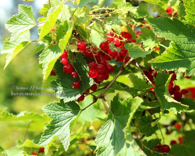 punainen viinimarja marjapensas kesä