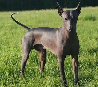 perros de raza mediana xoloitzcuintle