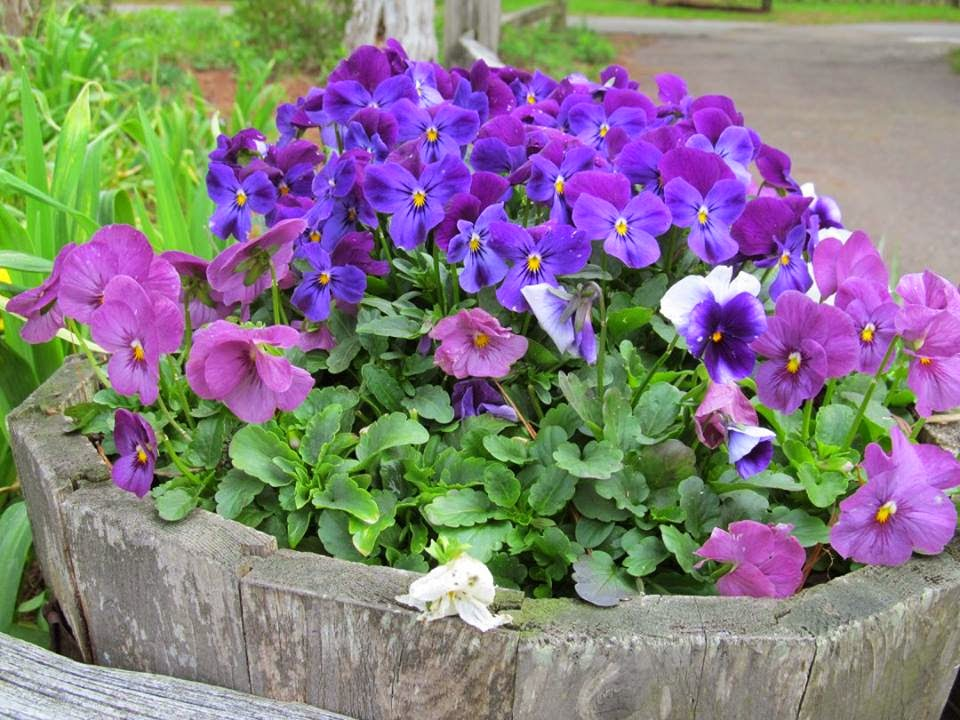Bucket of Pansies