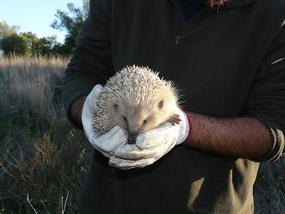 Devolução à Natureza de 4 ouriços-cacheiro