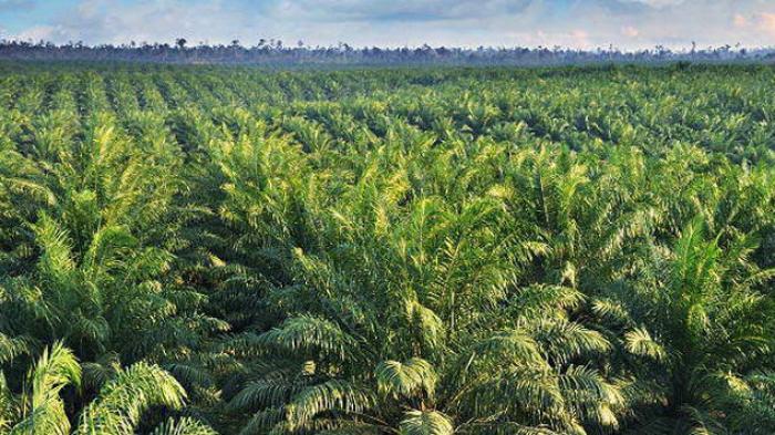 Lowongan Kerja Perkebunan di Riau (Pekanbaru) Terbaru