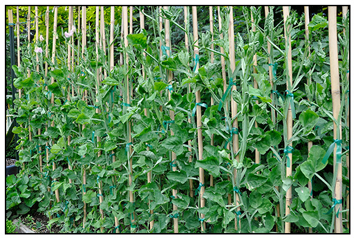 All Seemed To Be Going Well With The Cordon Grown Sweet Peas Until Bud Drop Break Out Began Overnight