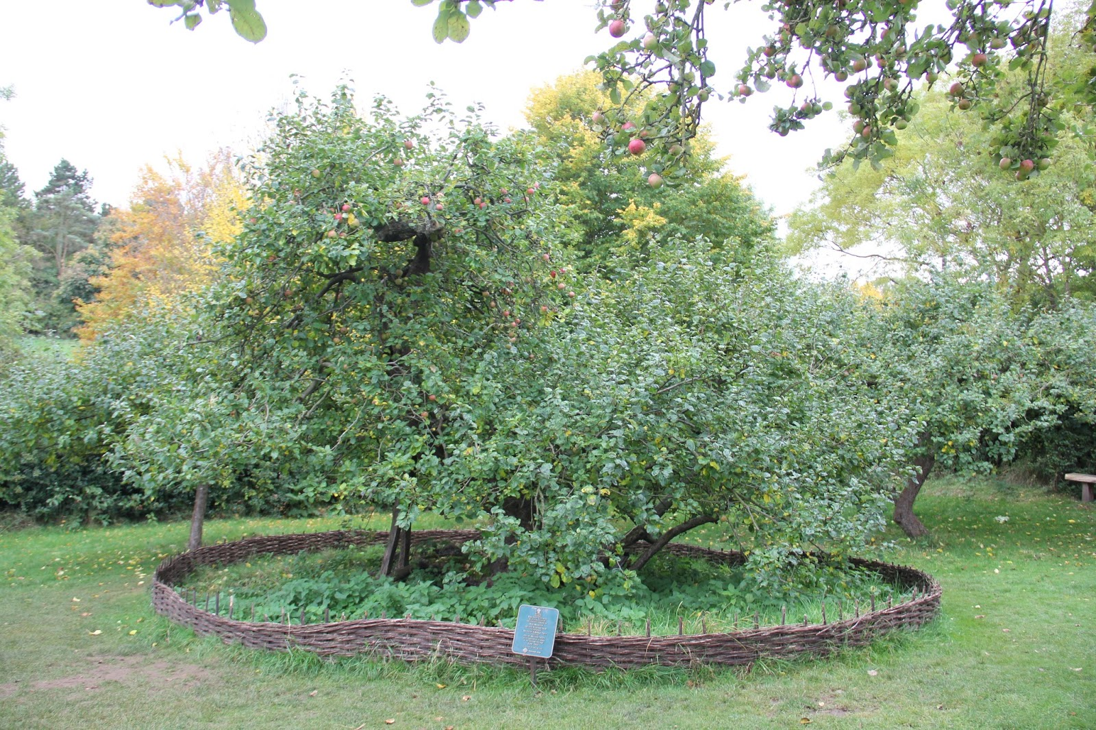 Isaac Newton's apple tree!