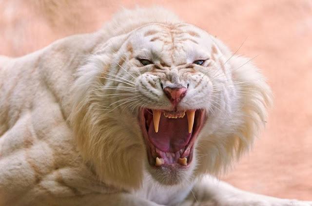 Atualmente, várias centenas de tigres brancos estão em cativeiro em todo o mundo, e seu número está a aumentar. A população atual inclui tigres puros e híbridos de Bengala e da Sibéria. A coloração incomum de tigres brancos tornou-os populares em jardins zoológicos, em mostras de animais exóticos e espetáculos circenses. É um mito que os tigres brancos não sobrevivem na natureza, pequenos grupos têm crescido por gerações em liberdade.