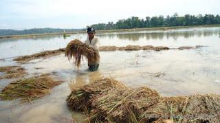Dampak Banjir, Aceh Alami Puso Terparah