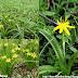 Hạ Trâm - Cỏ Sao vàng - Golden star grass