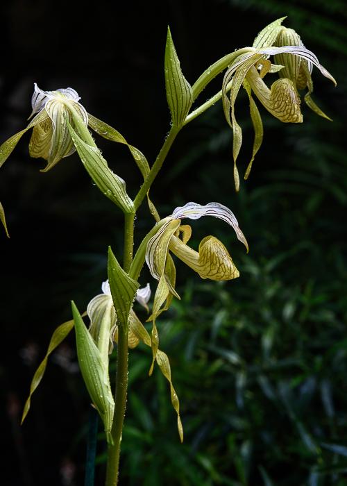 Paphiopedilum kolopakingii ABG 20120159