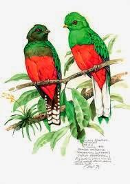 quetzal crestado Pharomachrus antisianus