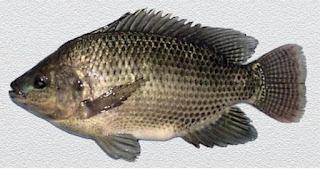Cá rô phi là cá gì? giá bao nhiêu tiền 1kg?