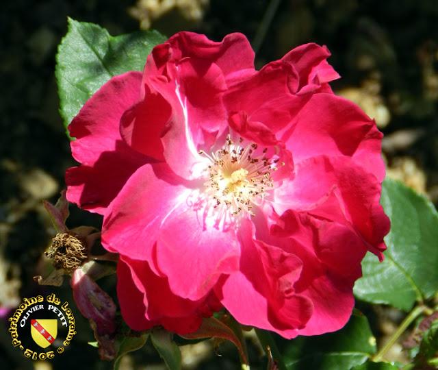 VILLERS-LES-NANCY (54) - La roseraie du Jardin botanique du Montet - Rose Nur Mahal