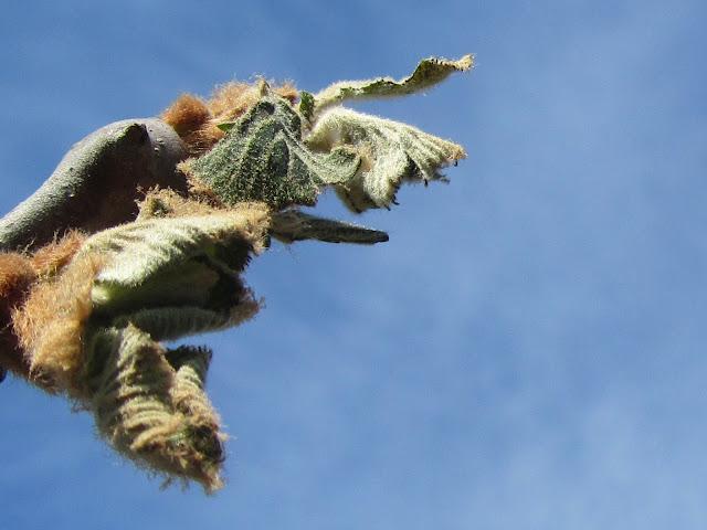 Brinata tardiva Foglie Kiwi