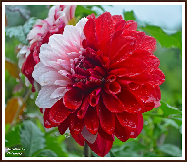 Wet in Rain, Double Colored, Red and White Flower, HD