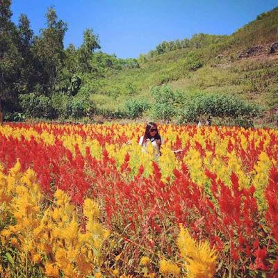 Lokasi Taman Bunga Celosia Kemadang Gunung Kidul