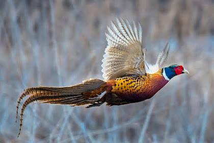 Anakan Ringneck Pheasant
