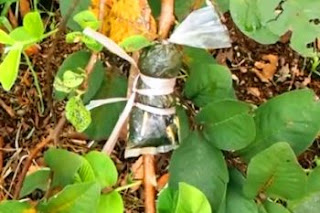 Cara Perkembangbiakan Vegetatif Tumbuhan Angiospermae