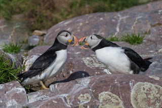 Atlantic Puffins in Newfoundland courting