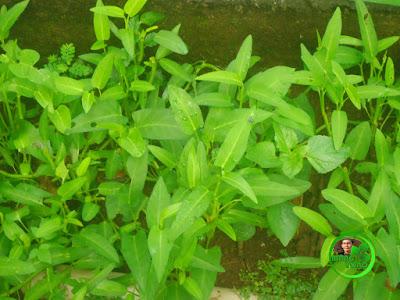 Budidaya kangkung darat di kebun belakang rumah