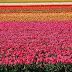 Pays-Bas - la tulipe, une plante de toutes les passions