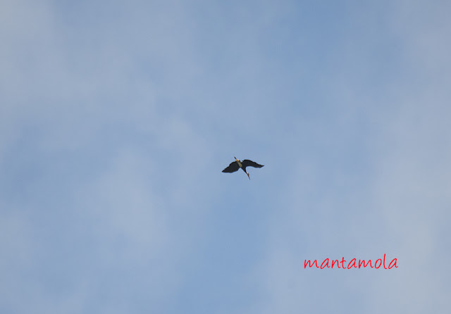 Storm stork (Ciconia stormi)