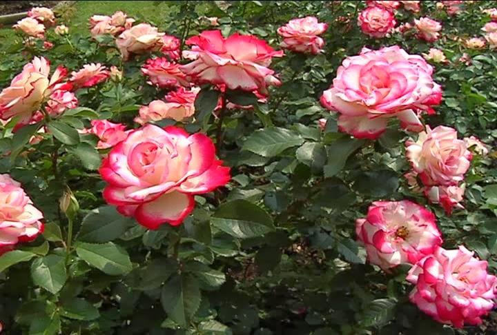 ialah tumbuhan hias yang menghasilkan bunga dengan warna Manfaat Bunga Mawar utuk Kesehatan dan Kecantikan