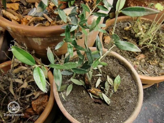 Ein Olivenbaum verliert während der Überwinterung oft alle seine Blätter. - Gartenblog Topfgartenwelt