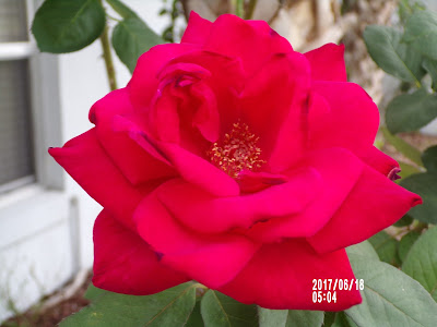 How Are You Feeling Today?-A Little Bit Of Something- Red Rose the smell is great. Helps with coping in any situations.
