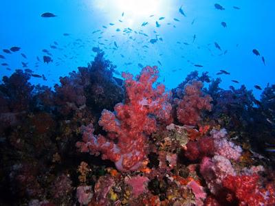 Foto van mooi uitziende koralen tijdens het duiken op het eiland Ko Lipe