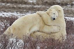 ホッキョクグマ可愛い写真 Polar Bear Cute Photo 3