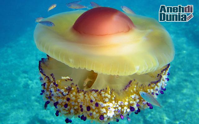 Ubur-Ubur Telur Ceplok (Cotylorhiza tuberculata)