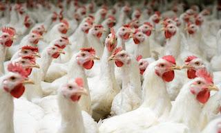 kelebihan ayam broiler
