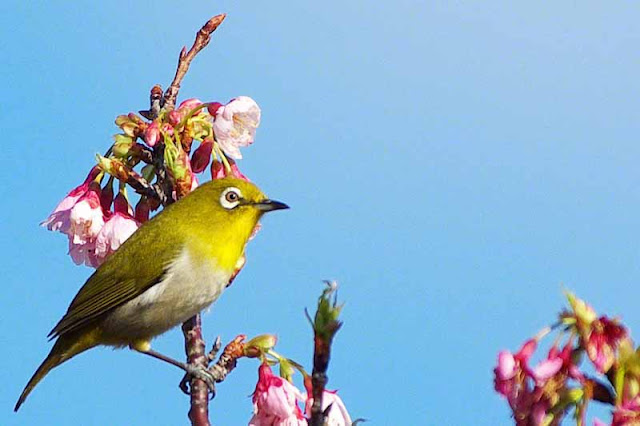Mejiro, bird, White-eye,cherry blossoms