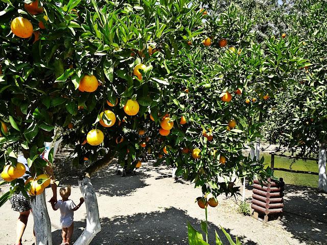 owocujące drzewa pomarańczy Grecja