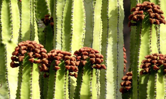 Euphorbia canariensis 03